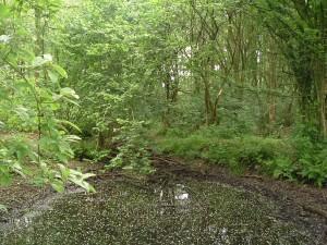 Kikkerpoel in oude bos